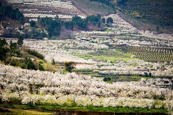 Cerezos en flor en Valle de Alcongosta (Beira Baixa)